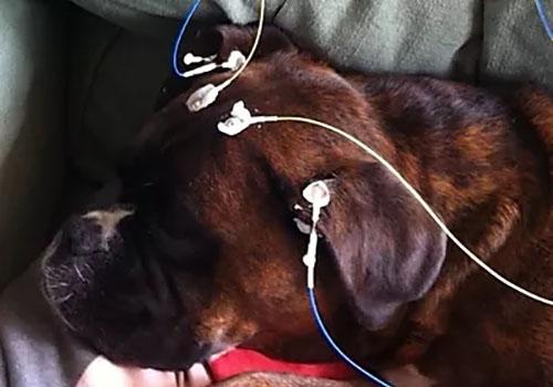 chien de race boxer, avec les capteurs pour la séance NeurOptimal®